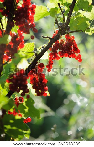 Red currant berries in summer sun rays - stock photo