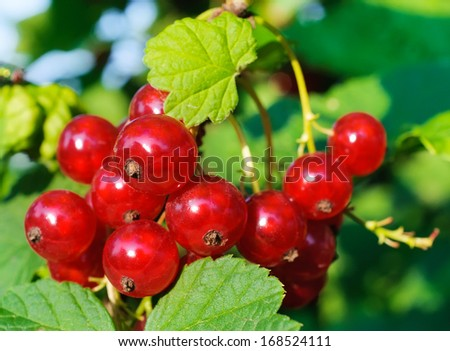 Red currant berries on a branch. - stock photo