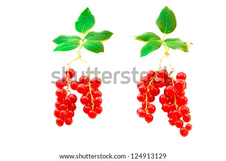 Red currant berries with leaves symbolizing the trees with roots. on white background