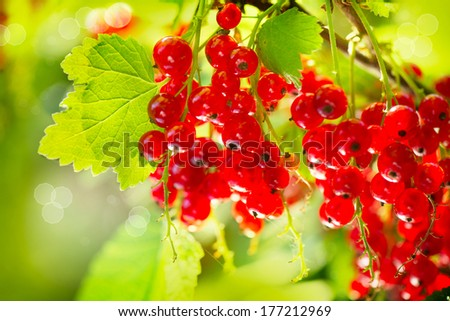 Red currant. Ripe and Fresh Organic Redcurrant Berries Growing in the Garden  - stock photo
