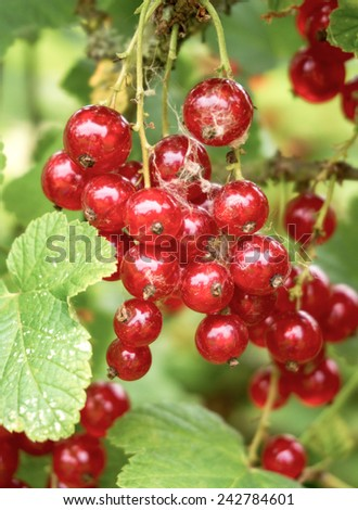 Red currants.  Branch with red berries - stock photo