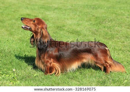 Red Dachshund  Long-haired on a green grass lawn - stock photo