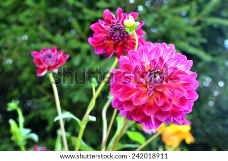 Red Dahlia (Diva Dahlia) flowers - stock photo