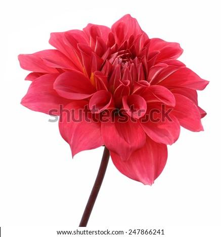 Red dahlia flower - stock photo