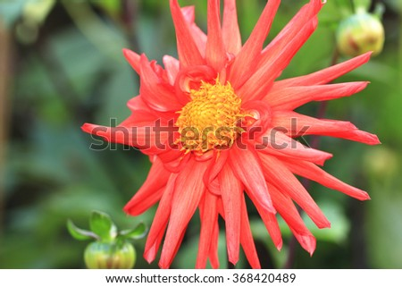 Red Dahlia flower closeup,beautiful red flower and buds blooming in the garden - stock photo