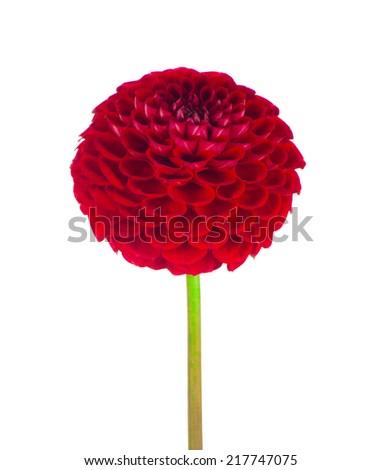 Red dahlia flower on white - stock photo