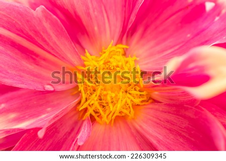 Red dahlia flowers - stock photo