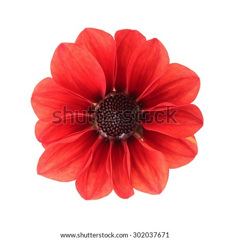 Red dahlia isolated on white background - stock photo
