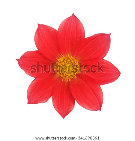 Red dahlia isolated on white background - stock photo