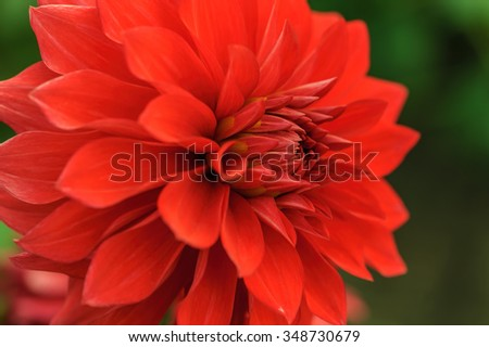 Red dahlia petals macro, floral abstract background. Shallow DOF, outdoor shot. - stock photo