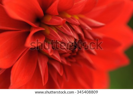 Red dahlia petals macro, floral abstract background. Shallow DOF, outdoor shot, angle view. - stock photo