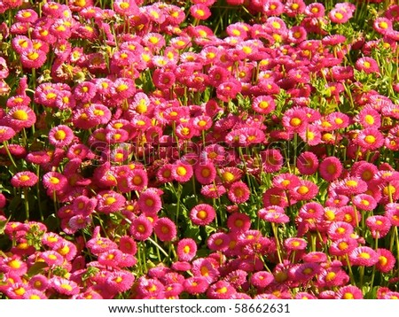 red daisies photographed in the gardens of park retiro in madrid, spain - stock photo