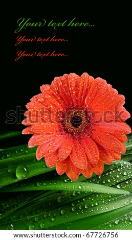 red daisy and grass with water drops - spa concept - stock photo