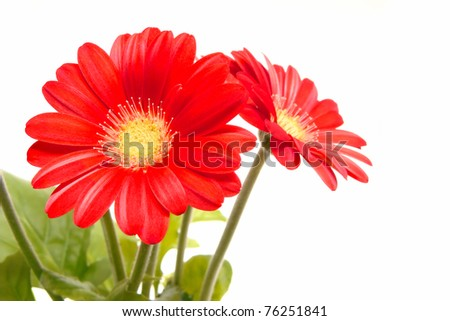 Red daisy flowers with leaves on a white background - stock photo