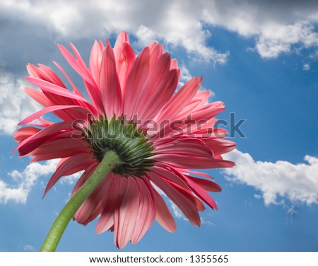Red daisy from behind on sky background - stock photo