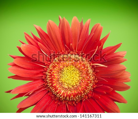 Red Daisy Gerbera bloom isolated on green background - stock photo
