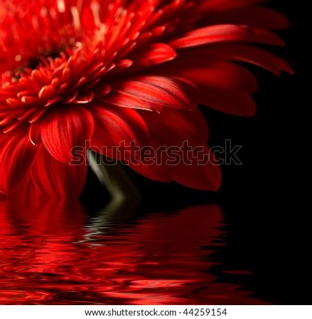 Red daisy-gerbera on black background - stock photo