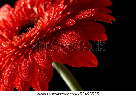 Red daisy-gerbera on black background - stock photo