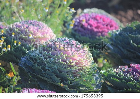 Red decorative cabbage