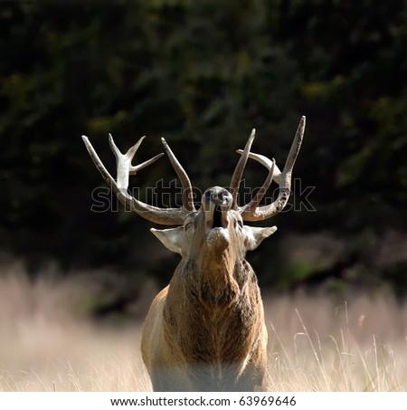 Red deer - stock photo