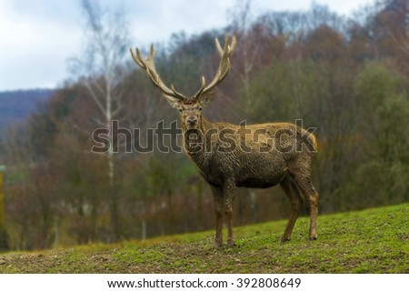 Red deer (Cervus elaphus) male standing on the slope
