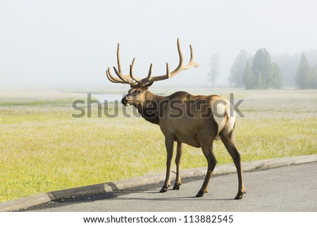 Red deer crossing the road at dawn. Yellowstone National Park, USA - stock photo