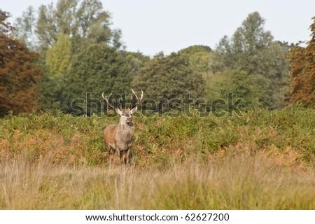 Red deer during rut season in October, Autumn, Fall - stock photo