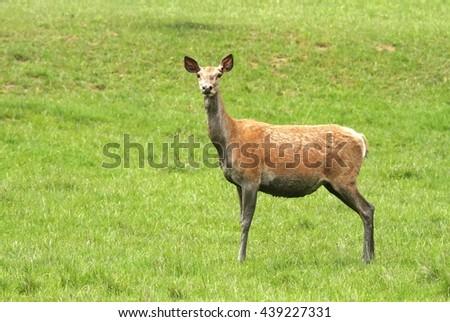 Red deer female - stock photo