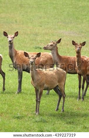 Red deer females - stock photo