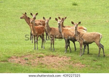 Red deer herd - stock photo
