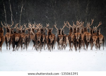 Red Deer Herd (Cervus elaphus) in the Scottish Winter Snow - stock photo