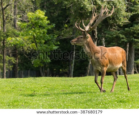 Red deer in a field in the summer