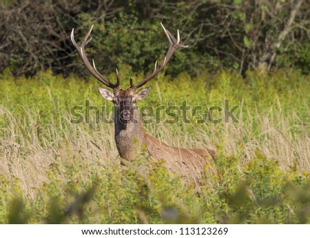 red deer in a time of estrus - stock photo
