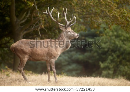 Red deer in autumn forest