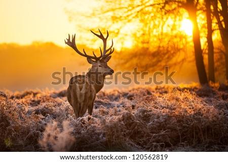 Red Deer in Morning Sun. - stock photo