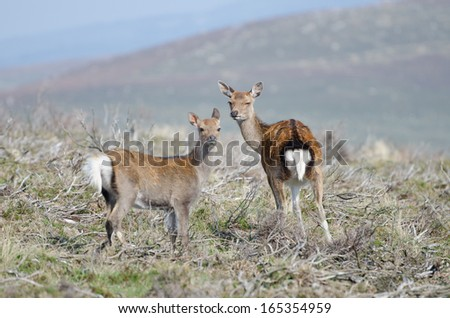 Red deer in Wicklow Mountains national park, Ireland - stock photo