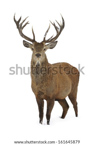 Red deer in winter snow isolated - stock photo
