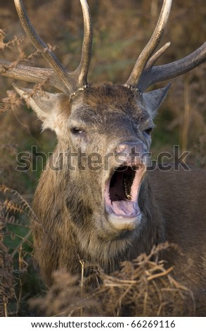 Red Deer male calling during rut