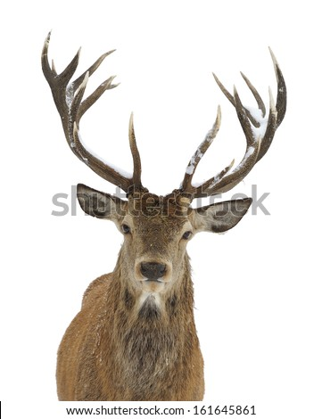 Red deer portrait isolated on white - stock photo