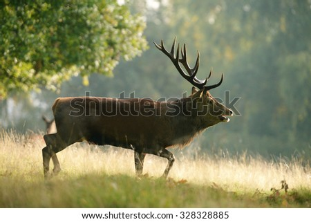 Red Deer - Rut in the fog on sunrise.