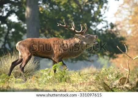 Red Deer - Rut time.