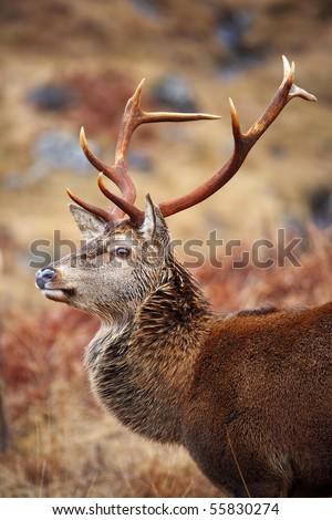 Red Deer Stag. - stock photo