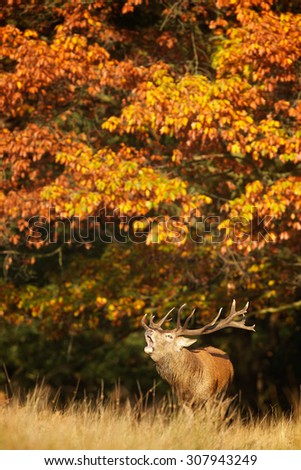 Red deer stag calling out in autumn