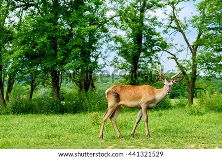 Red deer stag (Cervus elaphus) in a spring forest