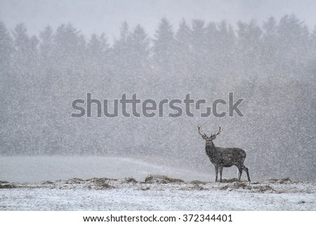 Red Deer Stag (Cervus elaphus) in the Scottish Winter Snow.  - stock photo