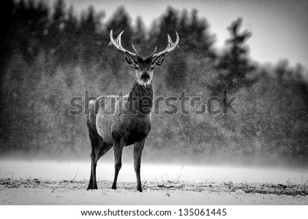 Red Deer Stag (Cervus elaphus) in the Scottish Winter Snow. Black & White Image - stock photo