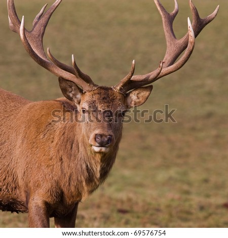 Red Deer stag (cervus elaphus) with full antlers in midwinter - stock photo