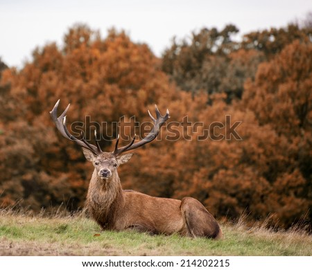 Red deer stag during rutting season Autumn landscape - stock photo
