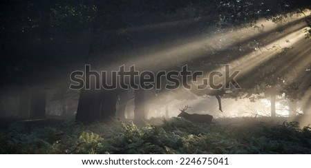 Red deer stag illuminated by sun beams through forest landscape on foggy Autumn Fall morning - stock photo