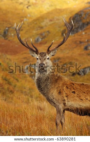 Red Deer Stag in Lochaber. - stock photo